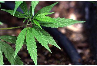 Cannabis Coins in the Green
