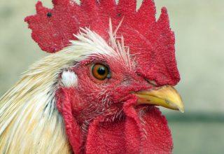 C'est Magnifique French Chickens on Blockchain